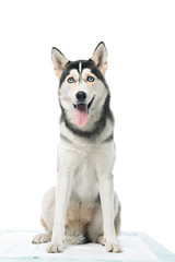 cute husky sitting isolated on white background