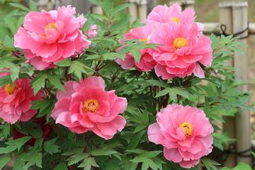 ボタン ピンクの花