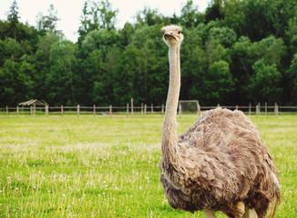 ostrich on grass, summer time