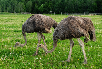 Two ostriches on green grass in summer