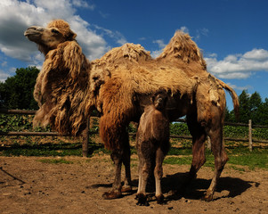 Mother camel with baby, outdoor, summer time