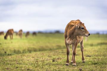 Cow grazing green grass in countryside field farmland under blue sky along Australia Great Ocean Road