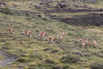 Field of Guanacos Torres del Paine Wall mural