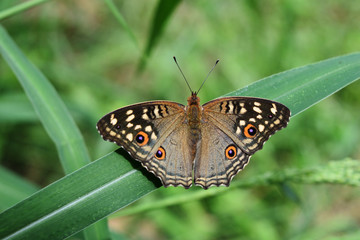 The pattern similar to the eyes on the wings the butterfly,The Lemon Pansy ,Junonia lemonias,Insect on leaf with natural green background ,Thailand
