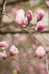 Blooming Magnolia tree with tulip-shaped flowers