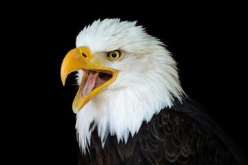 Poster Eagle Portrait of a bald eagle (Haliaeetus leucocephalus) with an open beak isolated on black background