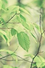 hazelnut tree branch