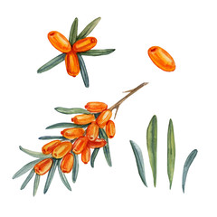 Watercolor sea buckthorn isolated on white background, hand drawn paint illustration berry isolated on white background, organic food, herbal decorative fruit for cosmetic package, design natural menu