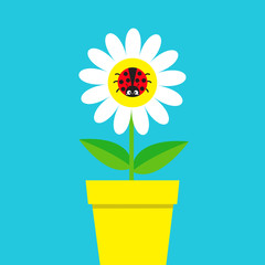 Ladybird Ladybug insect sitting on white daisy chamomile. Camomile icon. Cute growing flower pot plant collection. Cartoon character. Love card. Flat design. Blue background. Isolated.