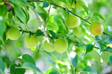 木になる梅の実