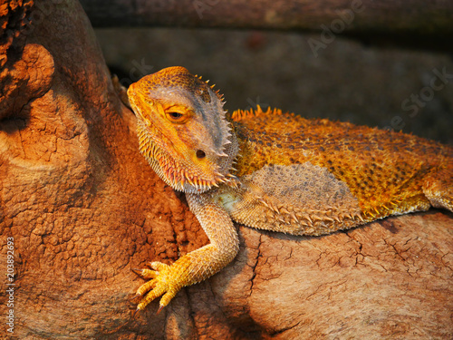 Dragon Barbu Stock Photo And Royalty Free Images On Fotolia