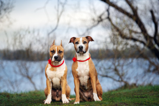 two staffordshire terrier dogs posing together outdoors