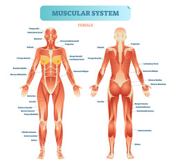Male muscular system, full anatomical body diagram with muscle scheme, vector illustration educational poster.