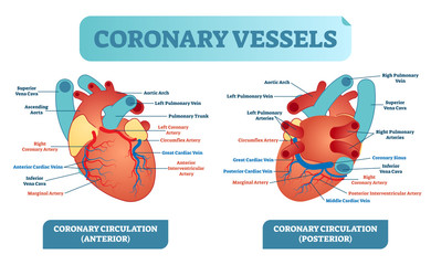Coronary vessels anatomical health care vector illustration labeled diagram. Heart blood flow system with blood vessel scheme.