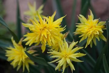 Daffodil Rip Van Winkle (narcissus) flowers