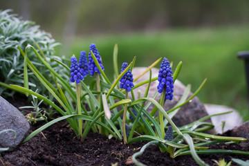 Grape hyacinth (Muscari armeniacum)