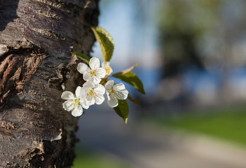 Flowers of a cherry on a tree trunk with green leaves in a park in spring