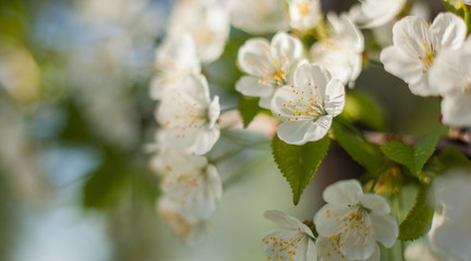 Blossoming cherry blossoms with green leaves on a tree branch in the park