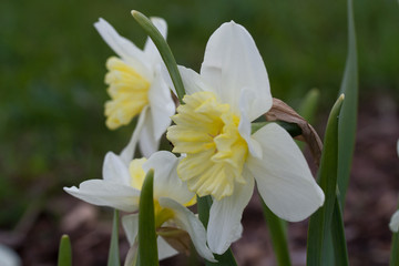 Daffodil 'Ice Follies (narcissus) flowers