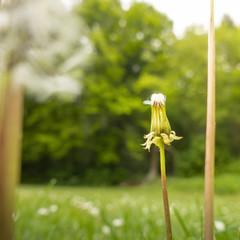 a gone dandelion blossom