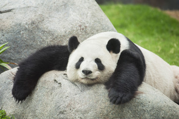 Fotorollo Pandas Giant panda bear sleeping