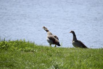 2 Geese at the lake