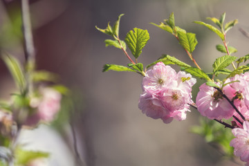 Closeup of pink flower clusters of an flowering plum or flowering almond in full bloom in spring