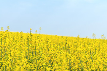 Blooming yellow rapeseed field with blue cloudless sky. Beautiful nature background.