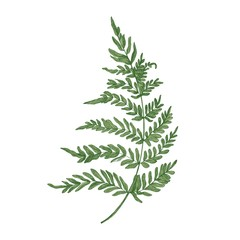 Green fern hand drawn on white background. Elegant botanical drawing of beautiful forest or woodland plant used in floristry. Natural colorful vector illustration in beautiful vintage style.