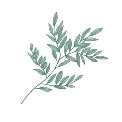 Ruscus sprig with green leaves isolated on white background. Beautiful natural drawing of gorgeous evergreen plant or shrub. Hand drawn vector illustration in elegant vintage style.