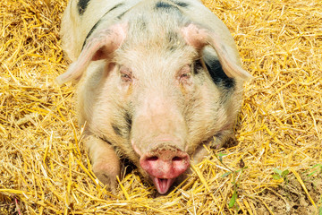 Smiling adult pig
