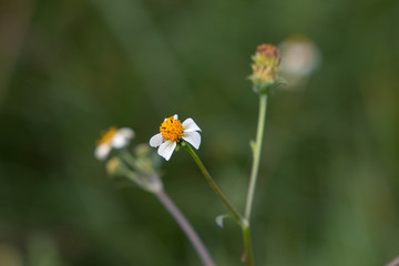Bidens pilosa, small white wild flower weed plant close up with green background.