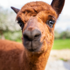Portrait of a young Alpaca close-up, South American mammal