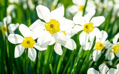 Beautiful white and yellow daffodils in garden