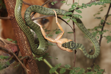The green snake eat frog on tree at home.