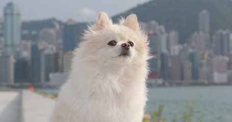 Cute Pomeranian dog in the city of Hong Kong