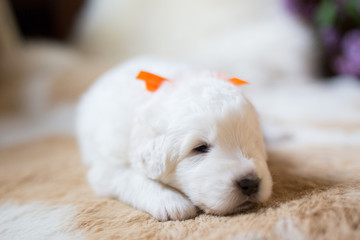 Close-up Portrait of one week old maremma puppy lying on the cow's fur. Image of cute white fluffy puppy breed maremmano abruzzese sheepdog.