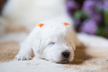 Close-up Portrait of one week old maremma puppy sleeping on the cow's fur. Image of cute smiling white fluffy puppy breed maremmano abruzzese sheepdog.