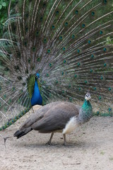 Beautiful peacock with stunning tail with female peacock