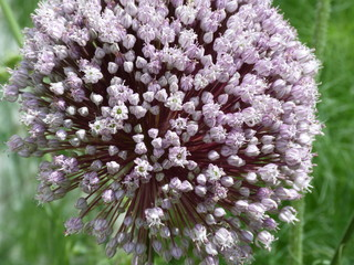 round gentle-lilac inflorescence of garlic on a background of green grass, close-up