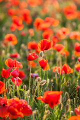 many blooming red poppies and buds in the morning sun. blooming background, spring nature, summer flower meadows