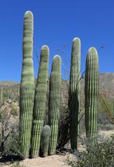 Group of saguaro cacti