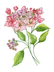 Delicate spring floral illustration. Beautiful pink hydrangea (flowers on a twig with green leaves) isolated on white background. Watercolor painting.