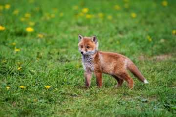 Jumping red fox. Running Red Fox, Vulpes vulpes, at green forest. Wildlife scene from Europe. Orange fur coat animal in the nature habitat. Action scene with red fox. Beautiful fox in the forest.