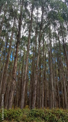 Eucalyptus Tree Plantation In Tasmania Australia Stock Photo And