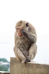Monkey of portrait isolated white background.
