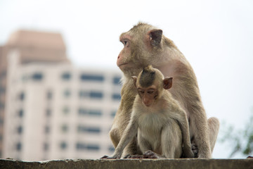 baby monkey and mother monkey sitting on the concrete or cement.