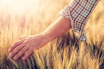 Male farmer touching wheat crop ears in field