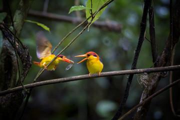 Black-backed Kingfisher bird in Kaeng Krachan National Park Thailand.