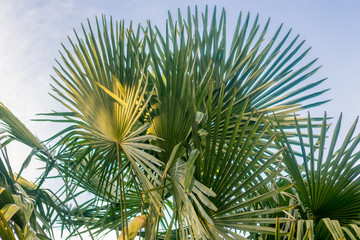 palm tree leaves at golden hour in park, blue sky